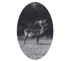46 Point Stag in the Park, 1941
